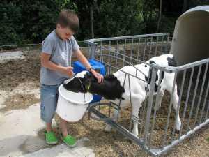 Kind voert kalfje op boerderij