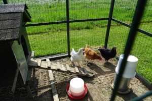 Boerderij kippen