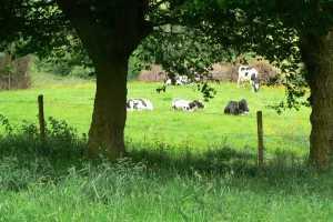 Koeien in weide